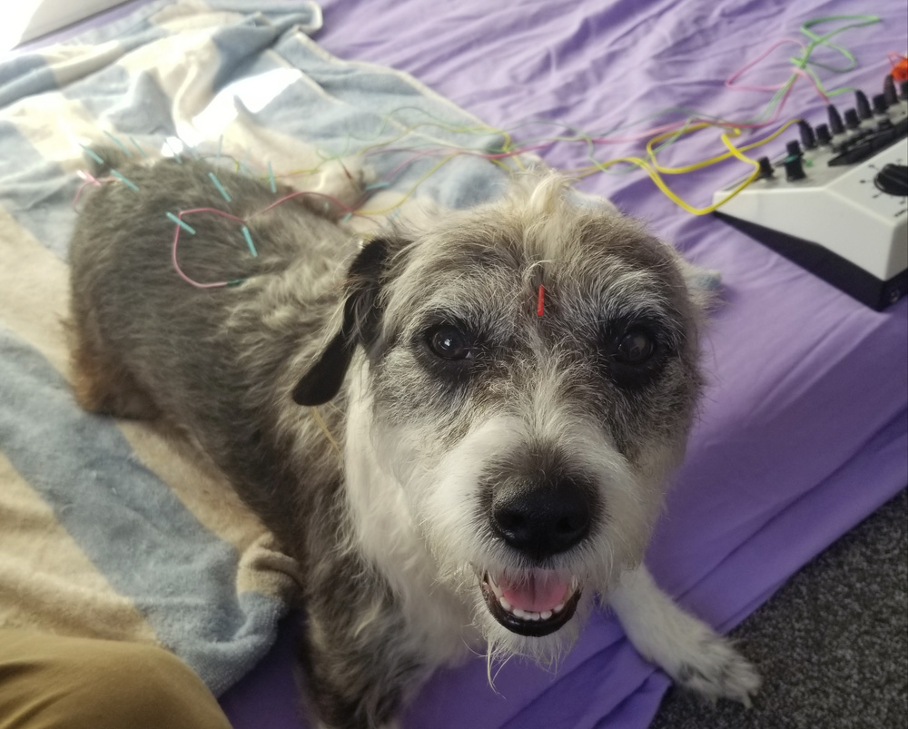 Dog with IVDD getting electro-acupuncture treatment