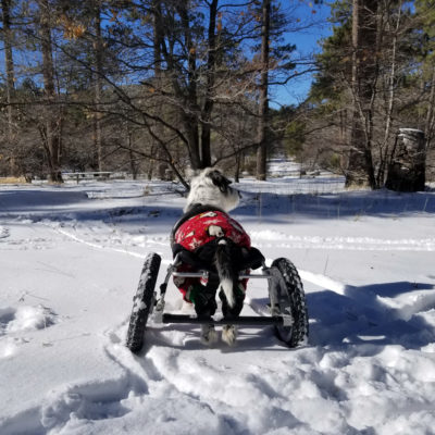 dog with IVDD in an eddie's whees wheelchair in the snow