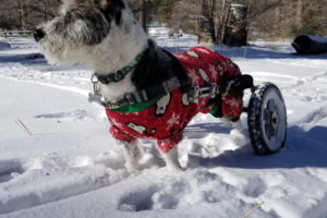 paralyzed dog in an eddie's wheels wheelchair in he snow