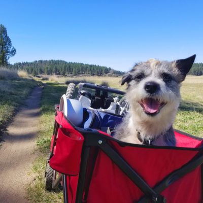 paralyzed dog with IVDD in a wagon