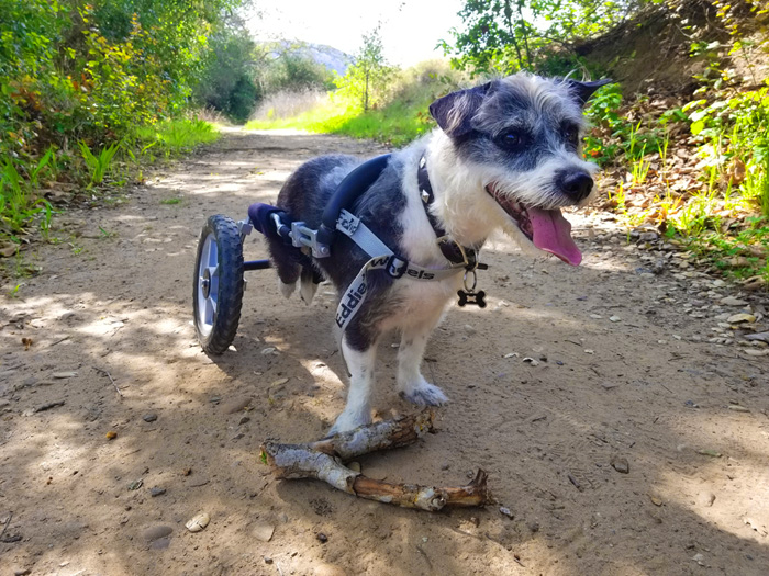 paralyzed dog in an eddie's wheels wheelchair