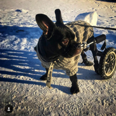 paralyzed frenchie dog in a wheelchair