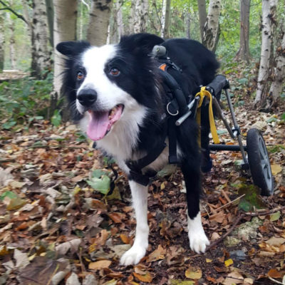 paralyzed border collie dog in a wheelchair