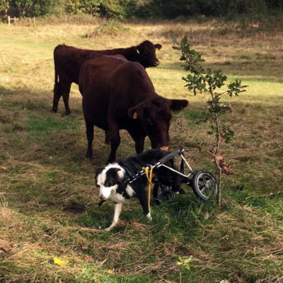 paralyzed dog in a wheelchair next to cows