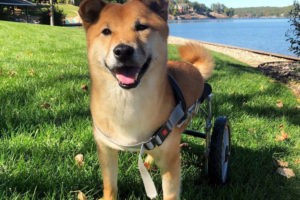 shiba inu dog in a wheelchair