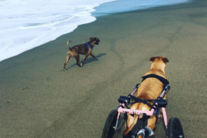 paralyzed dog in a wheelchair on the beach