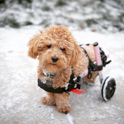 dog in a wheelchair in the snow