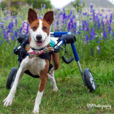 paralyzed dog in a wheelchair