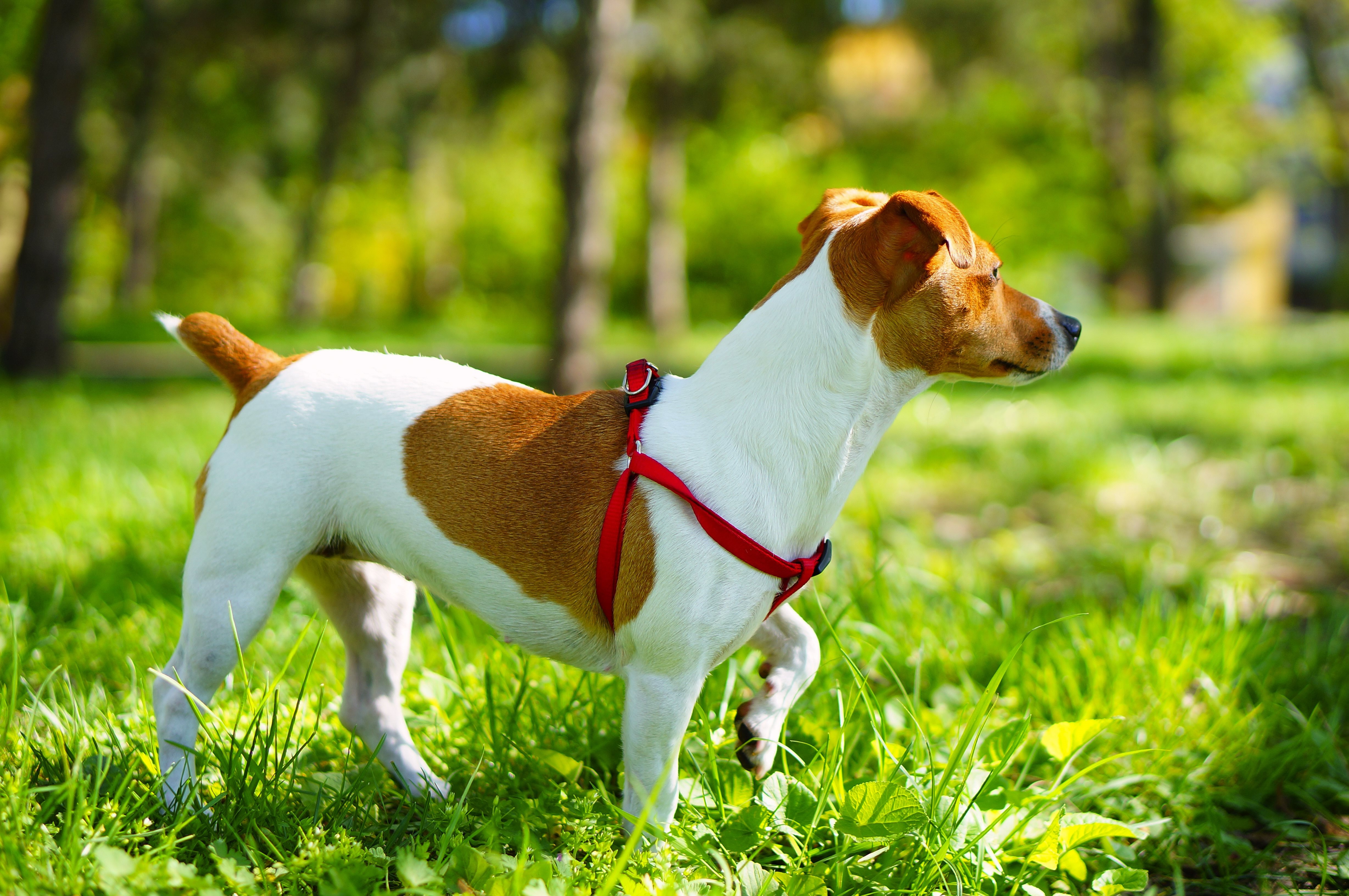 10.  Jack Russell Terrier