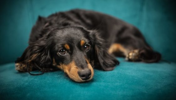 dachshund ivdd predisposed breed