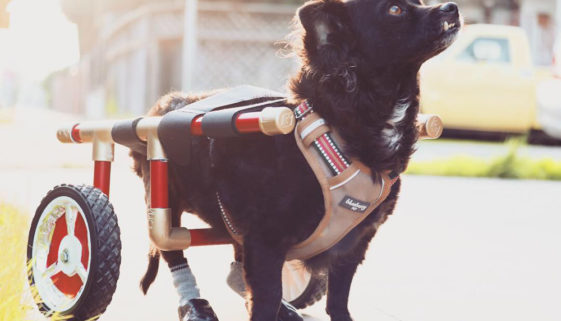 Disabled dog with IVDD in a wheelchair