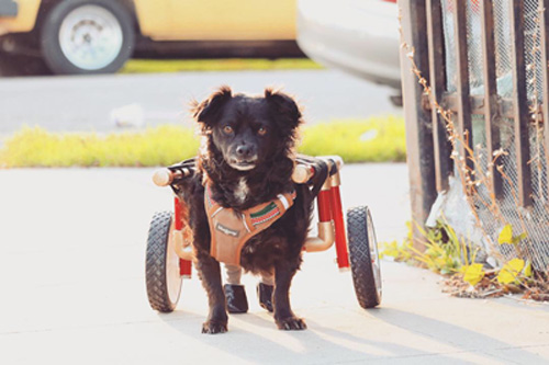 Sombras the paralyzed dog with IVDD in his wheelchair