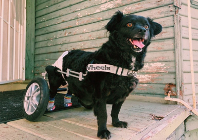 Sombras the paralyzed dog with IVDD in his eddie's wheels wheelchair