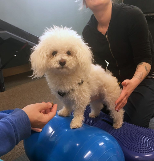 Milo the maltipoo with IVDD doing physical therapy